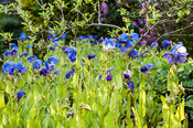 Border of meconopsis in the Low Garden.
