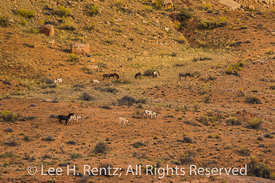 Wild Burros of Horseshoe Canyon in Canyonlands National Park