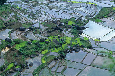Rice paddy fields, Central Sulawesi, Indonesia
