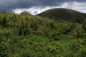 Rwanda, Parc National des Volcans, Volcanos National Park, the bamboo forest is the Mountain gorilla's habitat