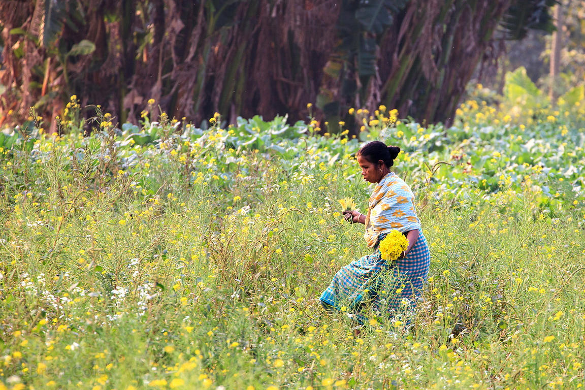A woman harvests wildflowers near the Dhapa dumping grounds in Kolkata (Calcutta), India. Dhapa is the primary landfill for K...