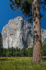 Jeffrey Pine and El Capitan in Yosemite National Park