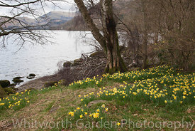 Narcissus pseudonarcissus, wild daffodils, growing beside Ullswater Lake in the Lake District.  Immortalized in Wordsworth's ...