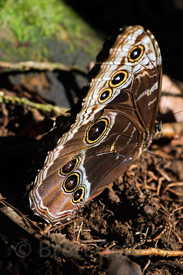 Morpho Butterfly, Los Cusingos Reserve, Costa Rica