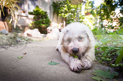 expressive dirty white puppy dog with leaf lying on patio in yard