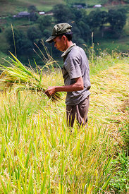 Hmong Boy Cutting Stalks of Rice for Drying in the Sun