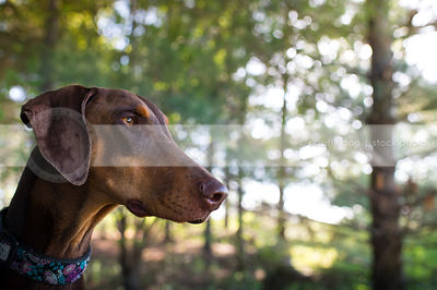 portrait of red and tan doberman dog with minimal background