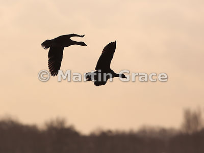 Two flying Pink-Footed Geese (Anas brachyrhynchos) silhouetted in evening light, Lancashire, England