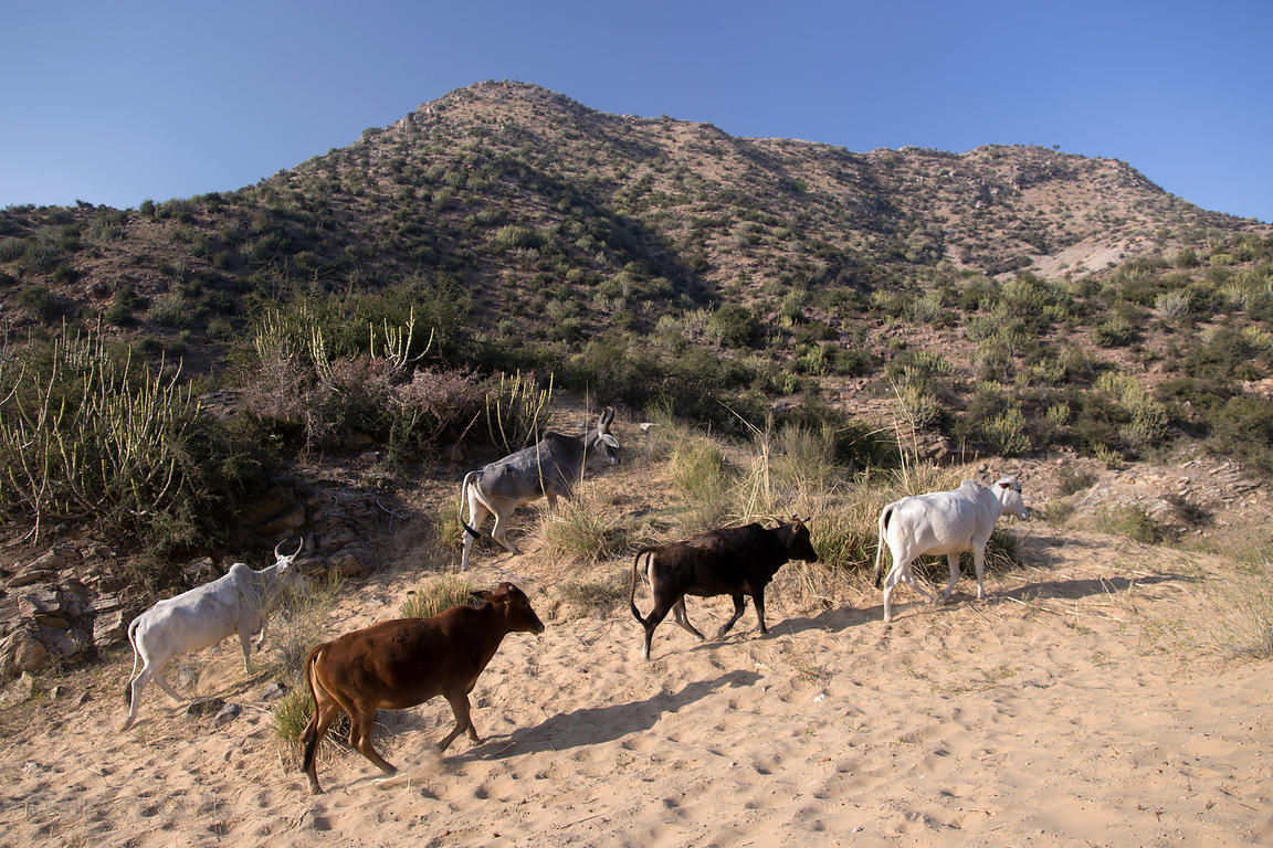 Cows grazing near sand dunes above Bedhnath temple area, Rajasthan, India
