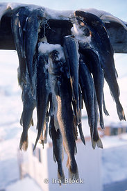 Freshly caught fish hanged to stay cold in the village, Little Diomede