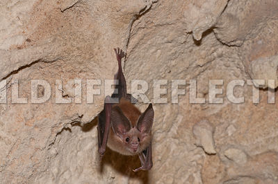 waterhouse_bat_hanging_13