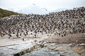Many imperial shags  found on the island of Beagle Channel in Argentina.