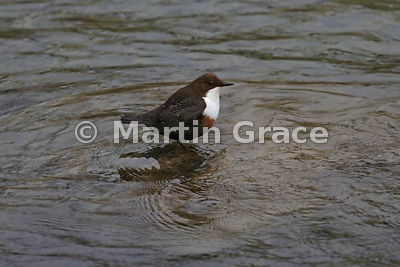 White-Fronted (White-Throated) Dipper (Cinclus cinclus), River Kent, Kendal, Cumbria, England