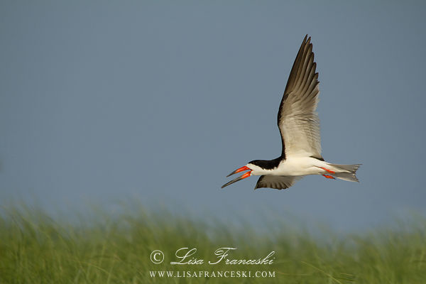 Adult Black Skimmer in Flight