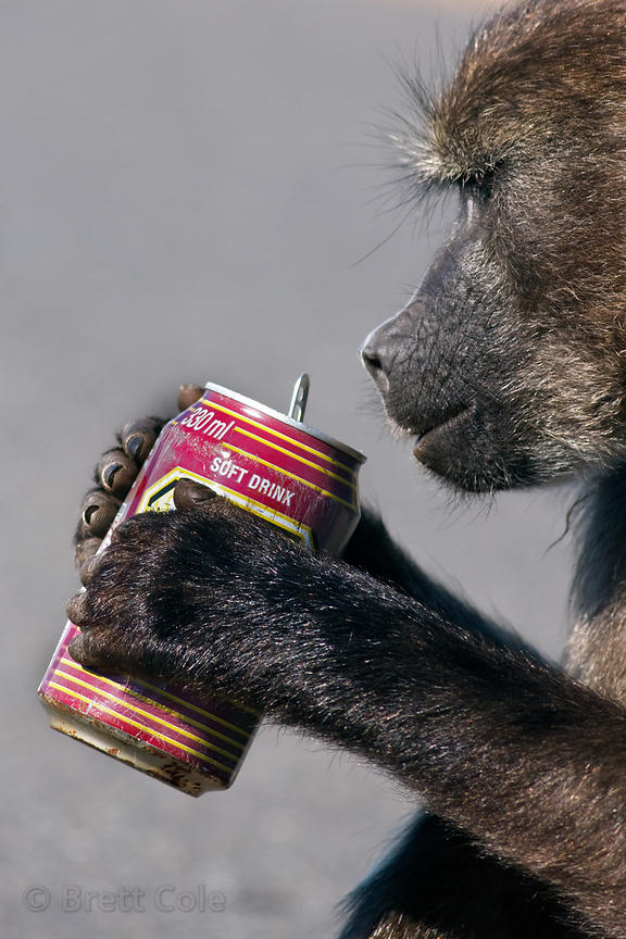 Chacma baboon from the Kanonkop troop playing with an aluminum can, Smitswinkel Flats, Cape Peninsula, South Africa