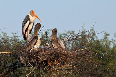 Nesting painted storks (Mycteria leucocephala), Keoladeo National Park, Bharatpur, India