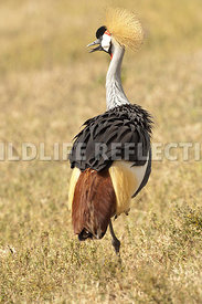 crested_crane_back_turned_7