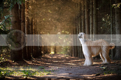 longhaired dog standing in forest of pine trees