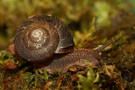 Snail species, North California