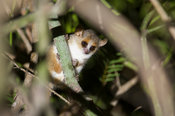 Grey brown mouse lemur, Microcebus griseorufus, Mandrare River Camp, Ifotaka Community Forest, Madagascar