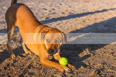 expressive red cross breed dog playbowing with ball in wet sand