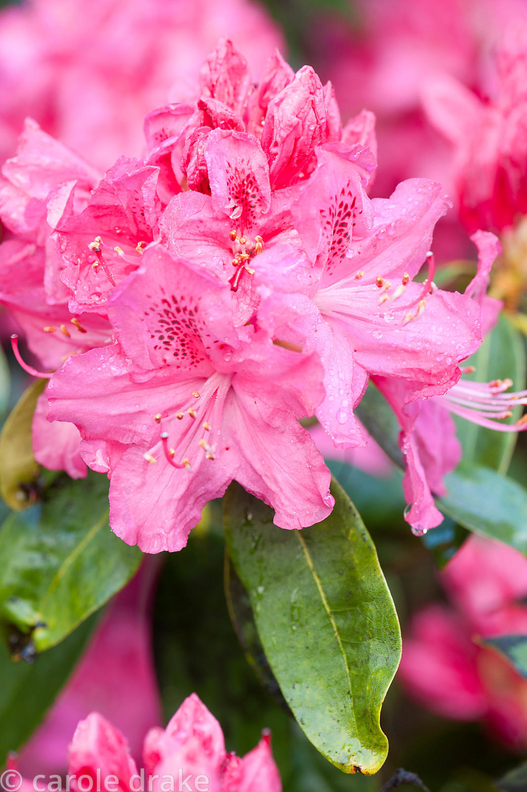 Rhododendron 'Cynthia', AGM. Holker Hall, Grange over Sands, Cumbria, UK
