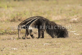 giant_anteater_walking-14