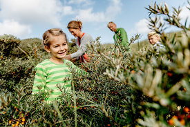 Girl and family picking sea buckthorn in Thy, Denmark