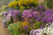 The Classical Herbaceous Border full of asters, tall Solidago 'Golden Wings', rudbeckias and phlox. Waterperry Gardens, Wheat...