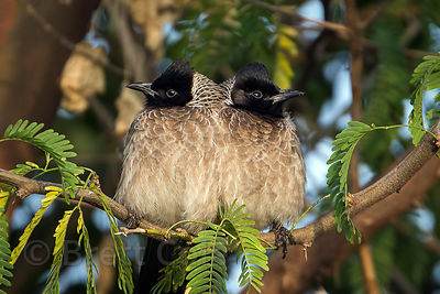 Unidentified songbirds, Surajkund village, Rajasthan, India (8_