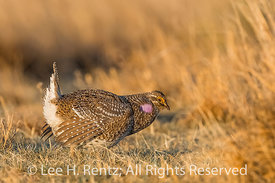 Sharp-tailed Grouse Dancing on Lek in the Nebraska Sandhills