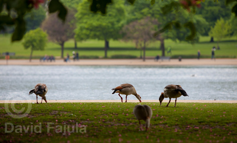 Egyptian Gooses (Alopochen Aegyptiaca) in Hyde Park