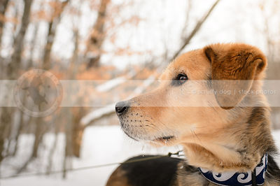 headshot of tan and black senior dog looking away in winter
