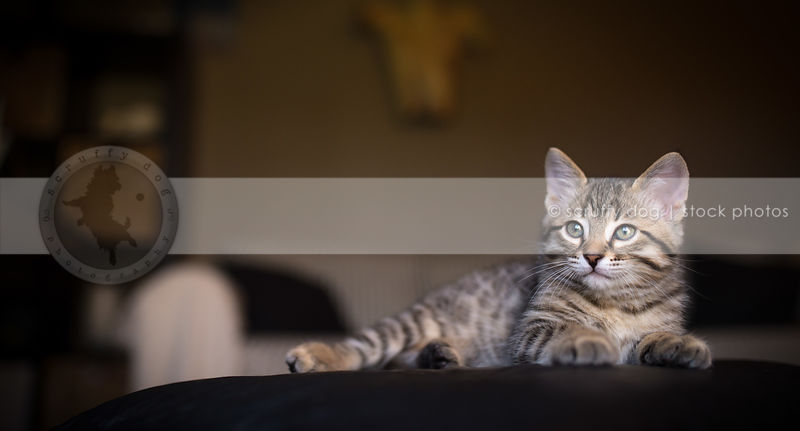 relaxed small tabby kitten lying resting with bokeh background