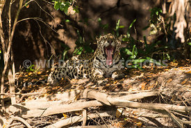 jaguar_forest_lighting-16