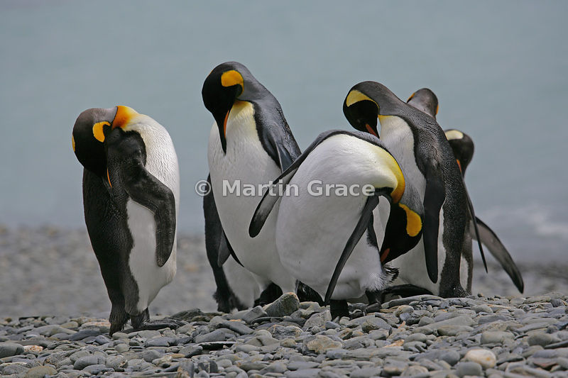 King Penguins (Aptenodytes patagonicus) preening, Fontana Bay, South Georgia