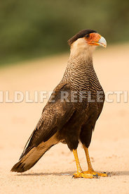 caracara_three_brothers_beach-10