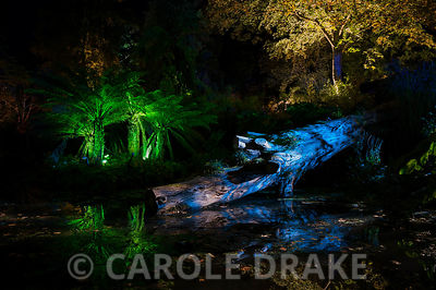 Tree ferns and a fallen tree trunk illuminated with coloured lights at Abbotsbury Subtropical Garden in October