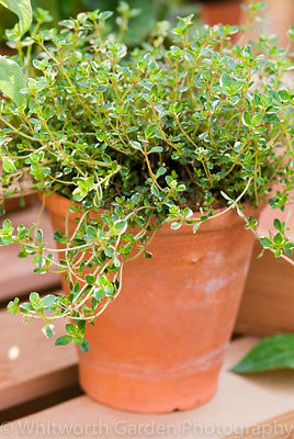 Thymus (Thyme) in a terracotta pot. © Jo Whitworth