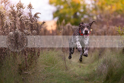 airborn brown speckled dog running flying to camera in meadow