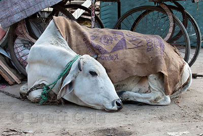 Chained cow adorned with a burlap sack on the streets of Jodhpur, Rajasthan, India