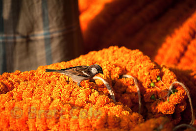 Birds peck at orange marigold flowers at the Howrah Flower Market, commonly referred to as the largest flower market in Asia....