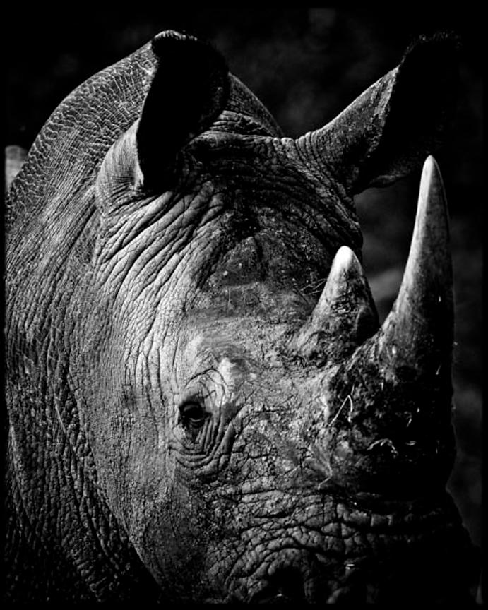 7438-Close_up_of_white_rhino_Laurent_Baheux