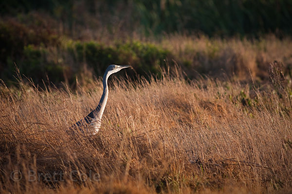 Black-headed heron (Ardea melanocephala) in wetlands, Strandfontein, South Africa