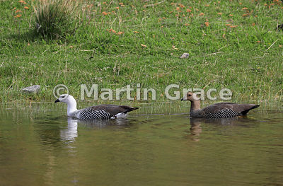 Pair of Upland Geese (Chloephaga picta) - male on the left, female on the right, Torres del Paine, Patagonia, Chile