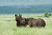 Black rhinoceros with young (Diceros bicornis), Lewa Wildlife Conservancy, Laikipia Plateau, Kenya