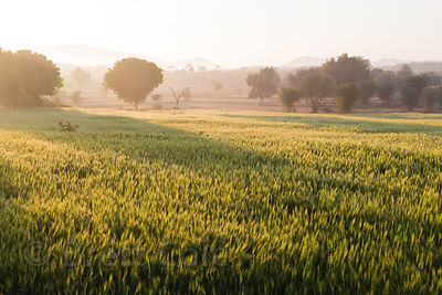 Chapati wheat fields at sunrise, near Bhagwanpura village, Rajasthan, India