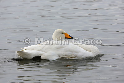 Wild Whooper Swan (Cygnus cygnus) with injured or weak neck, Tjornin City Pond, Reykjavik, Iceland