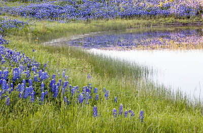 Bluebonnets and Pond #2