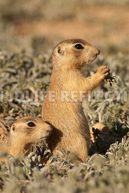 utahprairiedog_pup_with_food